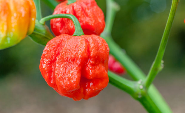 7 Pot Jonah Strain – Capsicum chinense – Chilisorte