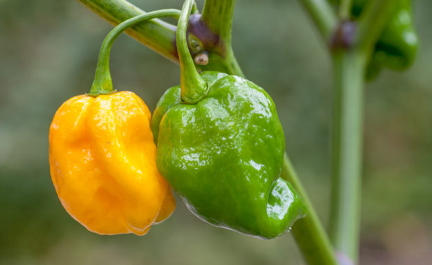 7 Pot Orange-Yellow – Capsicum chinense – Chilisorte