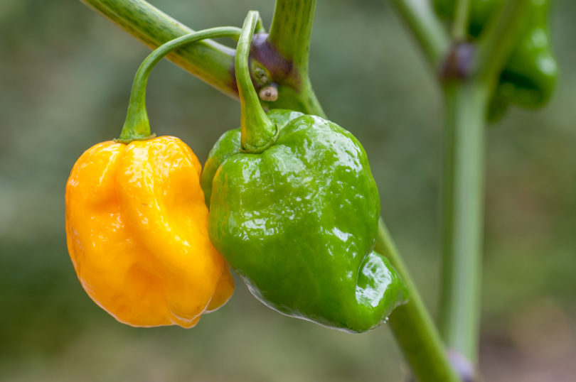 Die sehr scharfe Chilisorte 7 Pot Orange Yellow - <em>Capsicum chinense</em>