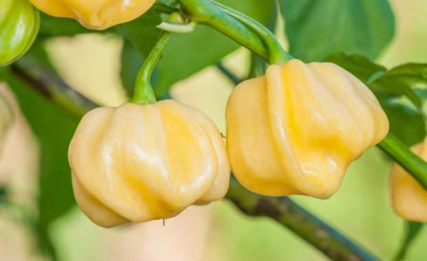 7 Pot White – Capsicum chinense – Chilisorte