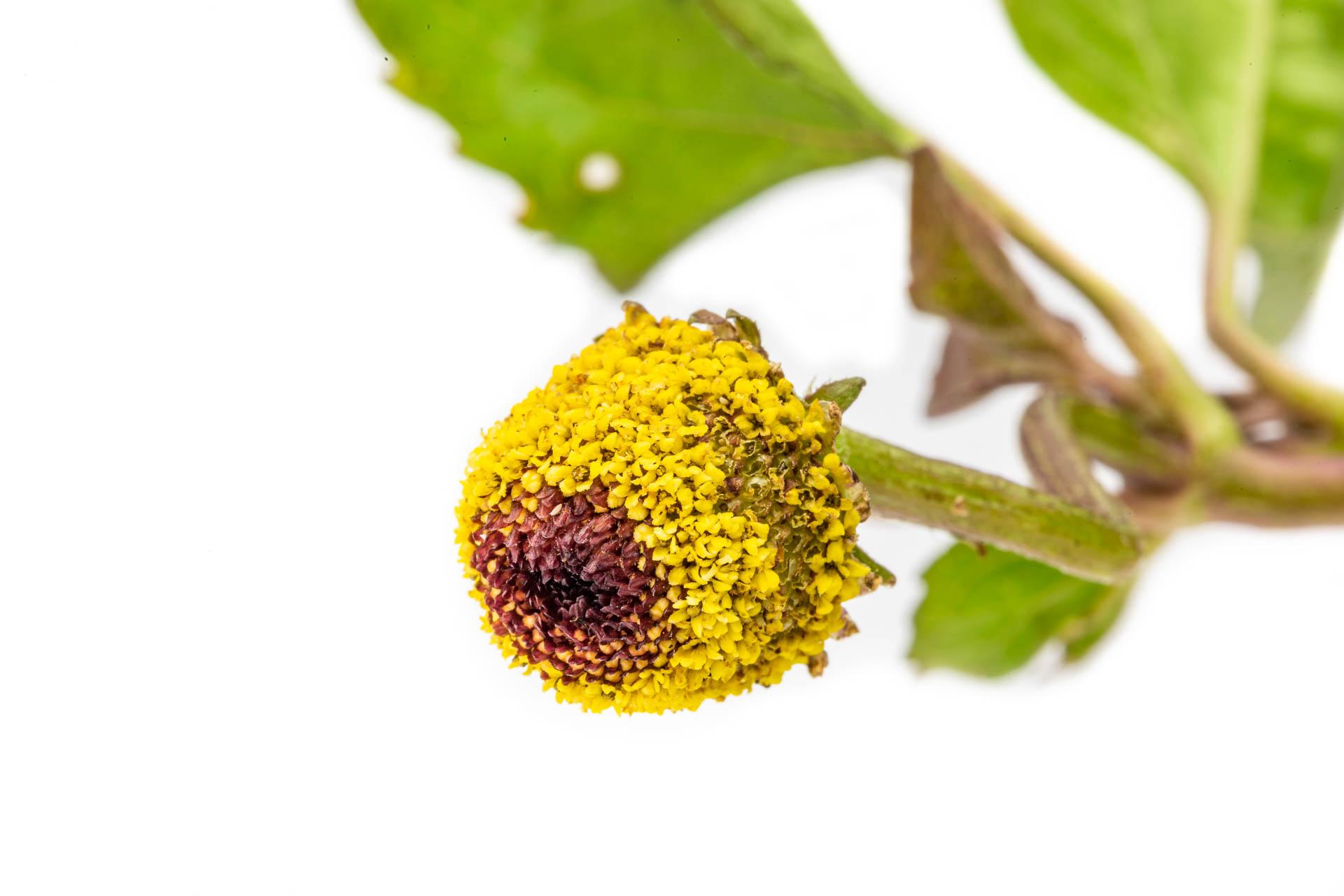 Acmella oleracea - Jambú