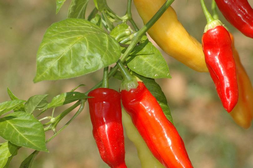 Die Früchte von Aji Blanco Cristal reifen von weiß über gelb, orange nach rot ab.