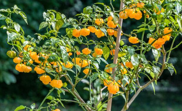 Aji Dulce Amarillo – Capsicum chinense – Chilisorte