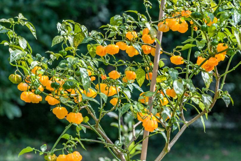 Ají Dulce Amarillo ist eine gelbe, milde Habanero Sorte (<em>Capsicum chinense</em>) mit sehr gutem Geschmack und hohem Ertrag