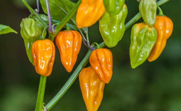 Aji Umba – Capsicum chinense – Chilisorte