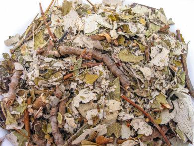 Alnus-acuminata
