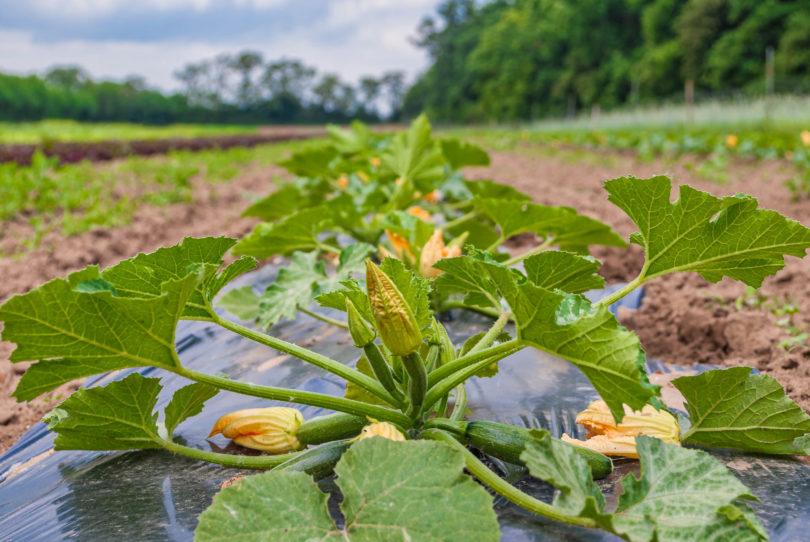 Freilandkultur von Zucchini