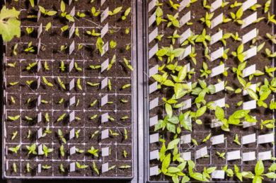 Aussaat-Chilipflanzen-390x259.jpg