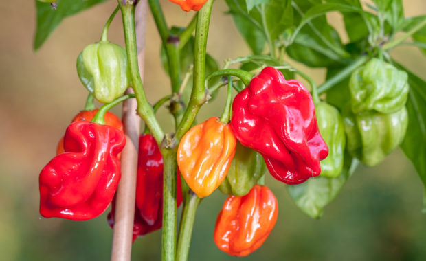 Avenir – Capsicum chinense – Chilisorte