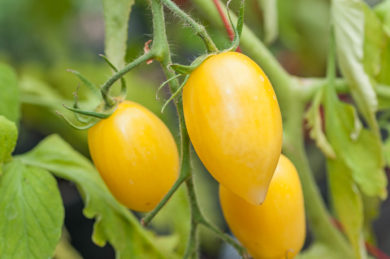 Banana Cream (Cream Sausage) - Solanum lycopersicum - Tomatensorte