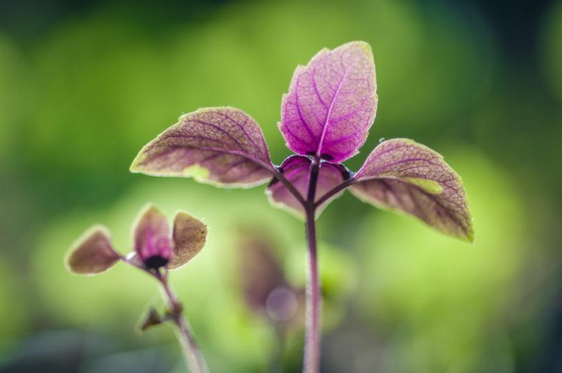 Gattungen von Nutzpflanzen