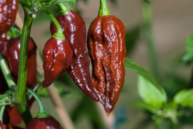 Bhut Jolokia Chocolate - Capsicum chinense - Chilisorte