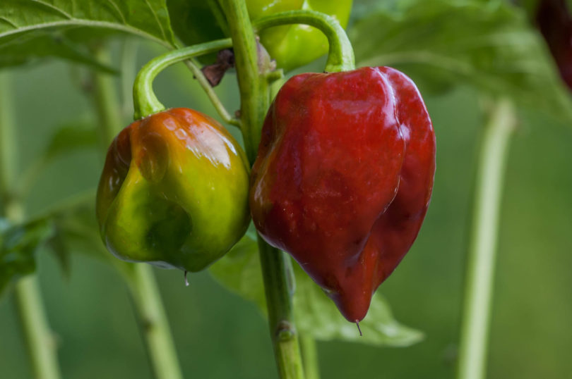 Die Chilisorte Black Stinger (Capsicum chinense)