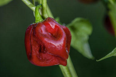 Black Stinger - Capsicum chinense - Chilisorte