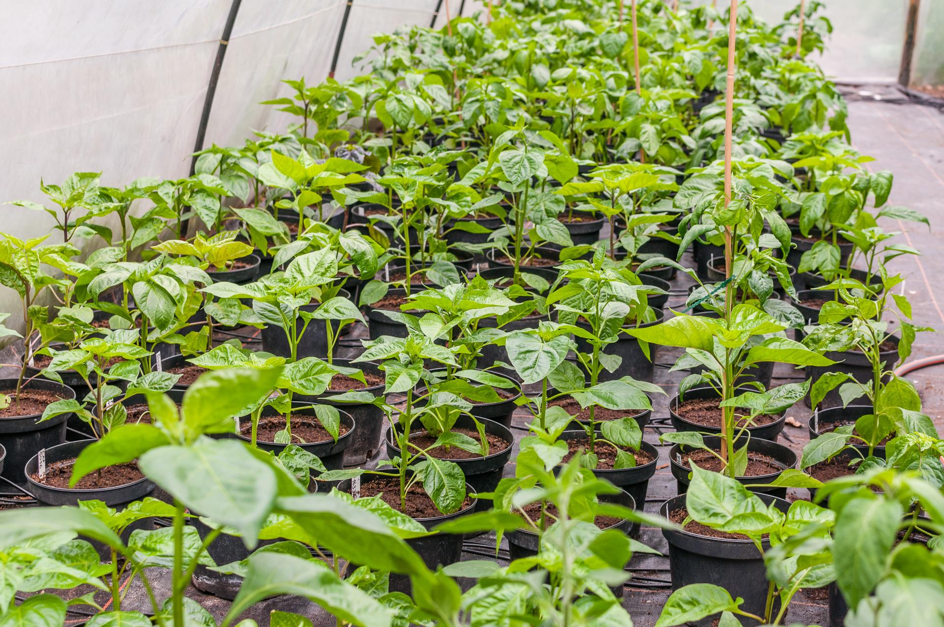 Capsicum Jungpflanzen