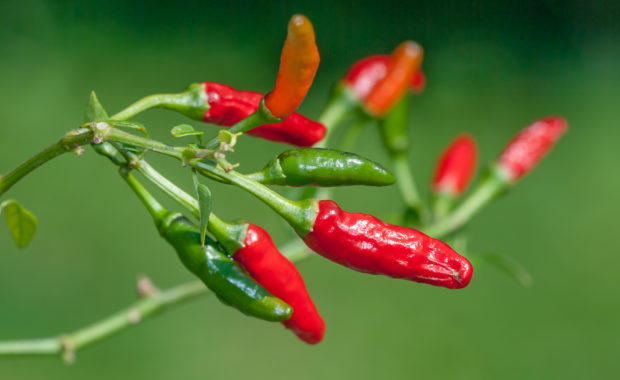 Early Calwonder 1 – Capsicum annuum – Chilisorte