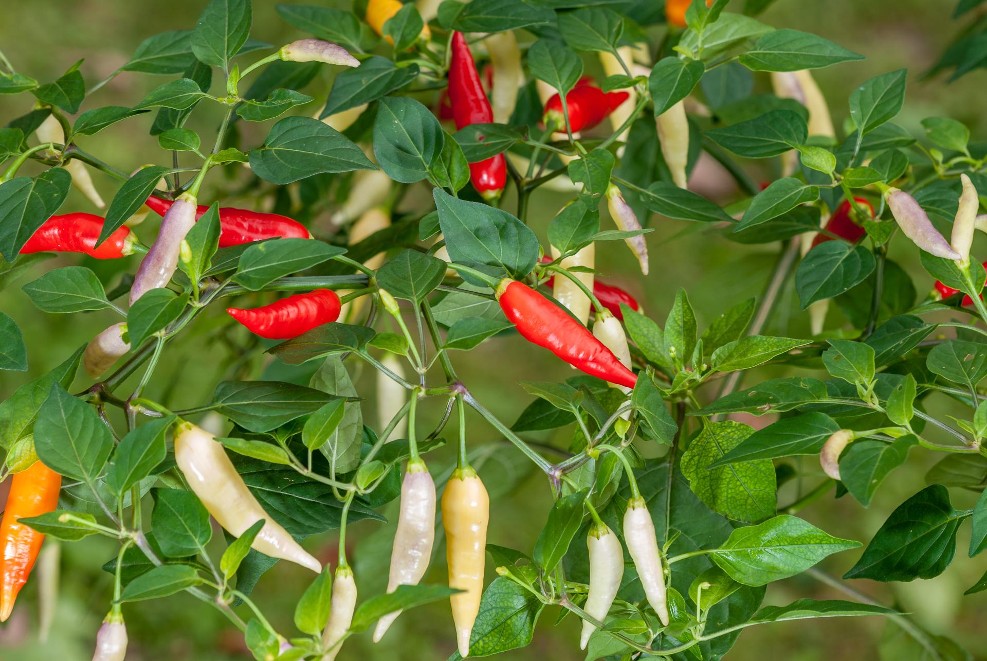 Synonyme für die Art Capsicum baccatum (Foto: Chile Piquín - Capsicum annuum)