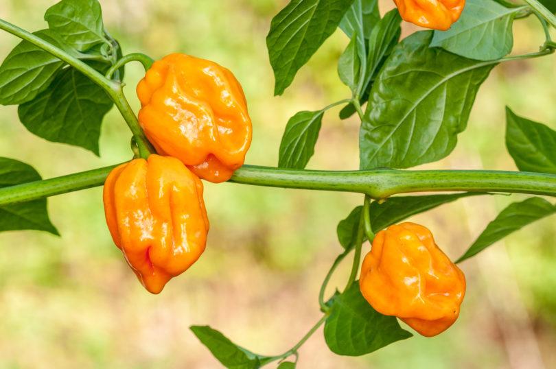 <em>Capsicum chinense</em> Sorten können in Fruchtform, Farbe und Schärfe variieren (Sorte: Habanero Tabaquite)