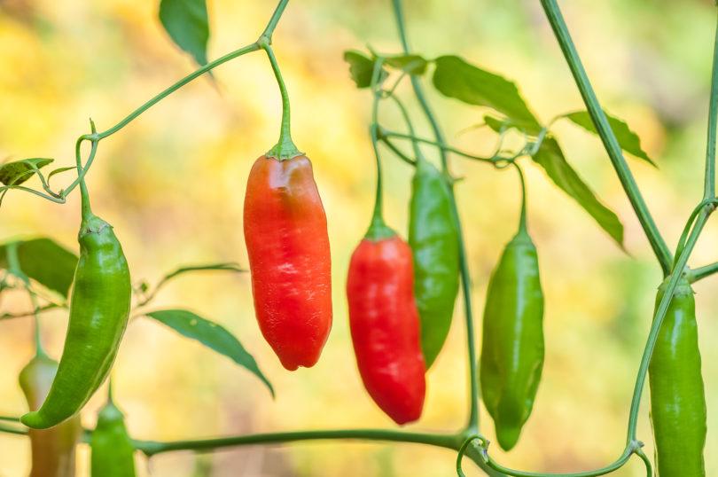Gattungen von Nutzpflanzen: Capsicum