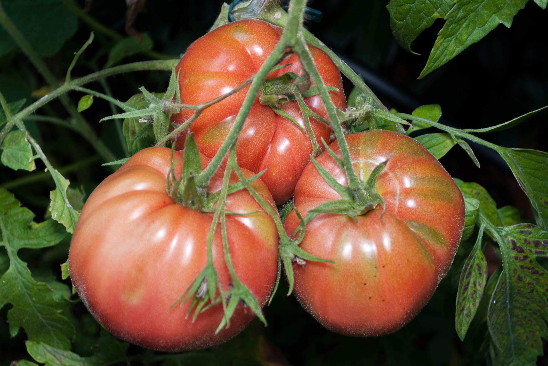 Cemans-Tomate