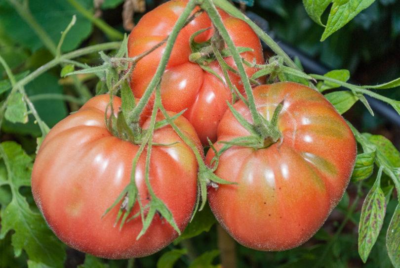 Cemans Tomate - Solanum lycopersicum - Tomatensorte