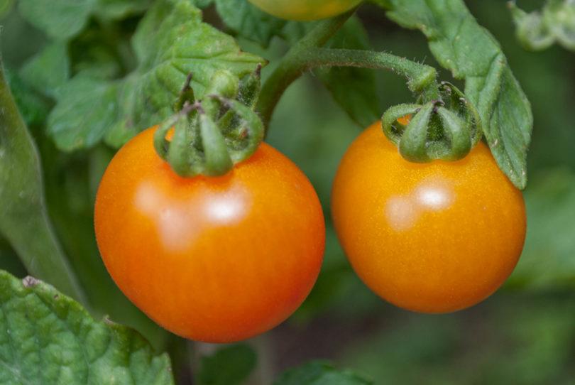 Die Früchte sind meist rot-gelb marmoriert