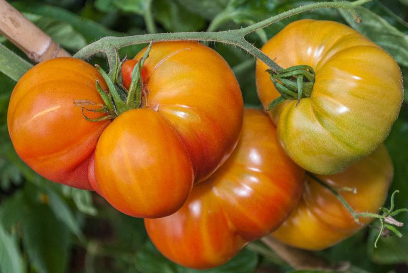 Die Früchte von der Fleischtomate Cherokee Golden sind rot gelb marmoriert und schmecken sehr gut und aromatisch
