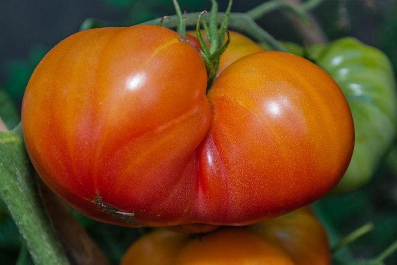 Die Früchte werden sehr groß