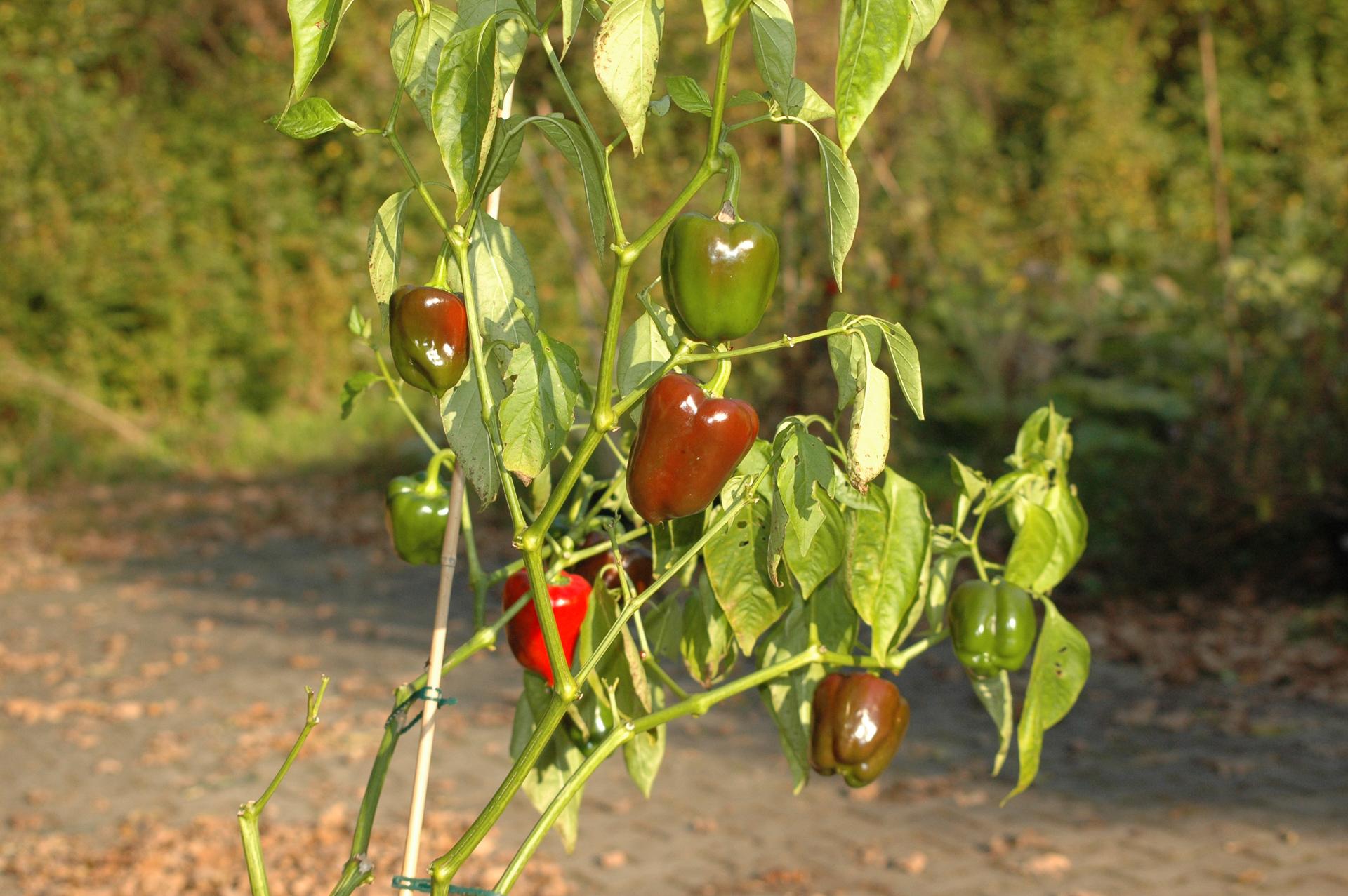 Chile Dulce Milfruto