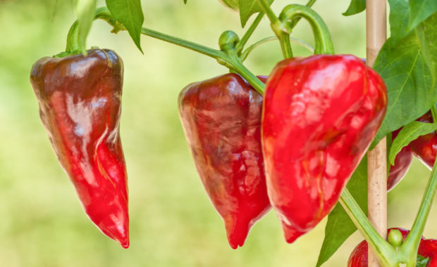 Chile Mulato – Capsicum annuum L. – Chilisorte