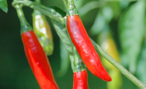 Chile de árbol – Capsicum annuum L. – Chilisorte