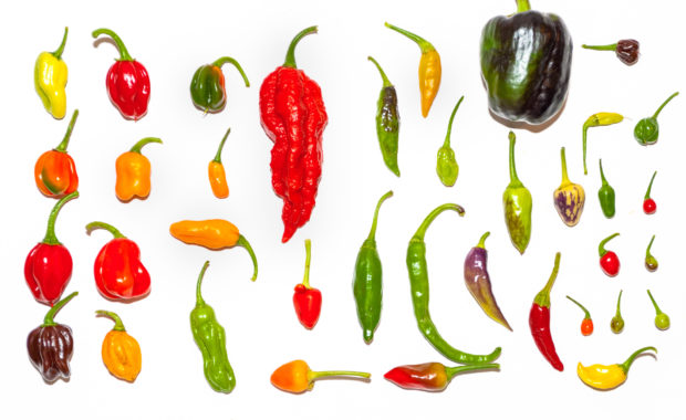 Granat – Capsicum annuum – Chilisorte