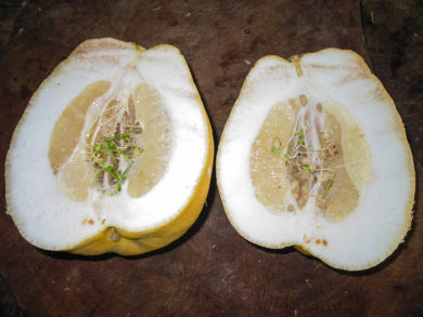 Citrus-Limon-real