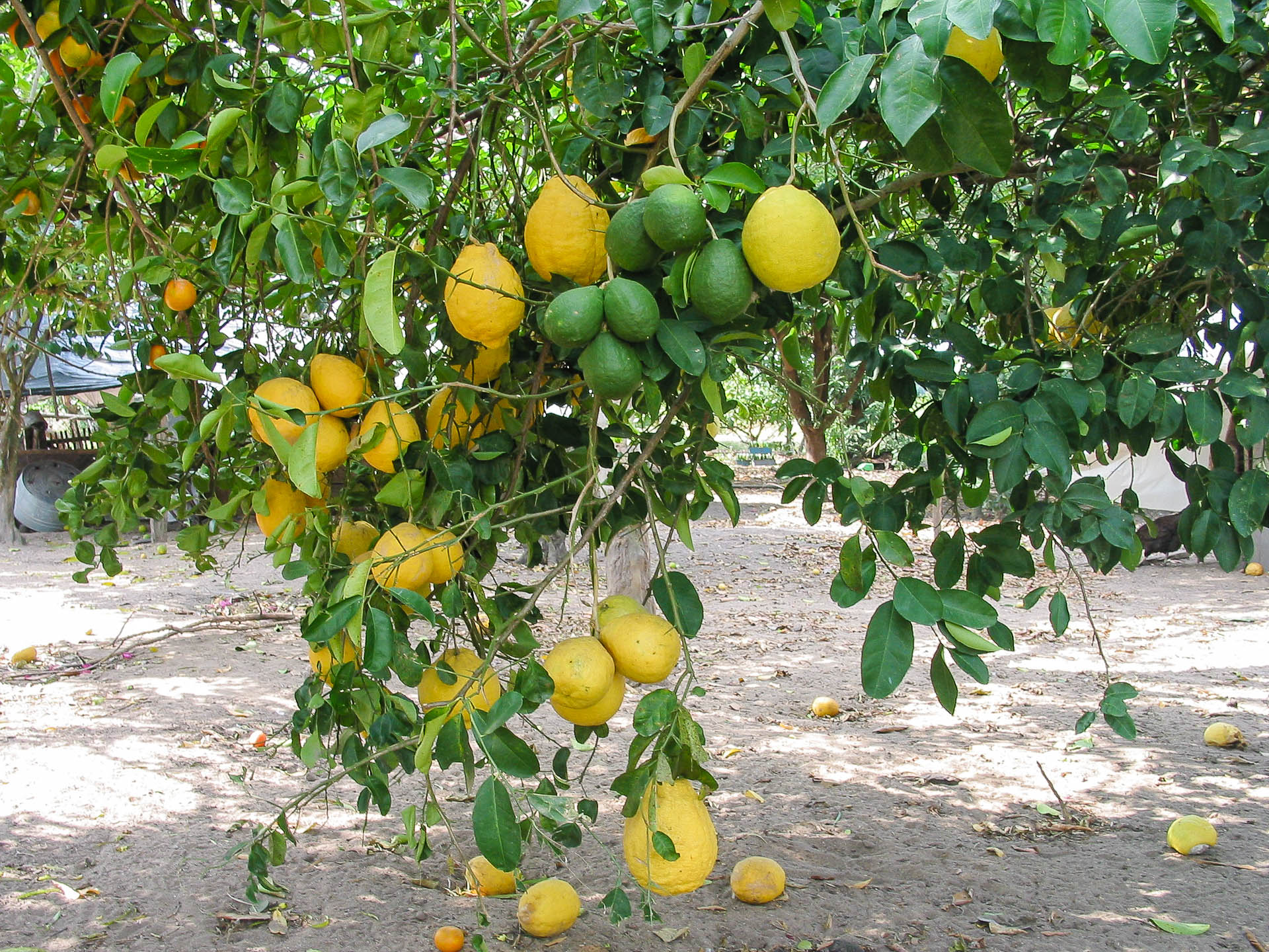 Citrus-Limon-real