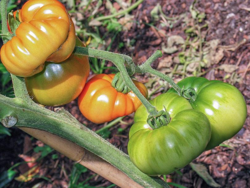 Die Fleischtomate Costoluto Genovese Selection Valente V.F. ist eine leckere und ertragreiche alte Tomatensorte aus Italien