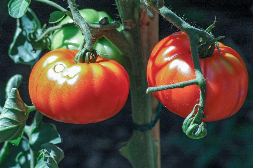 Große Früchte auch im Freiland - Die Fleischtomate aus Italien: Costoluto Genovese Selection Valente V.F.