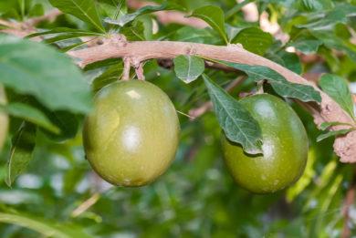 Kalebassenbaum - Crescentia cujete