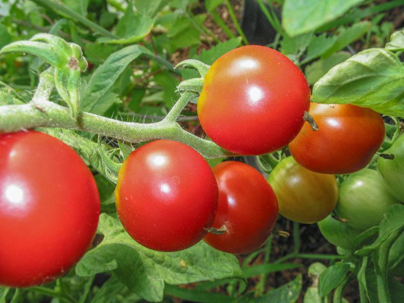 De Colgar - Die Pflanzen tragen reichlich mittelgroße rote Früchte