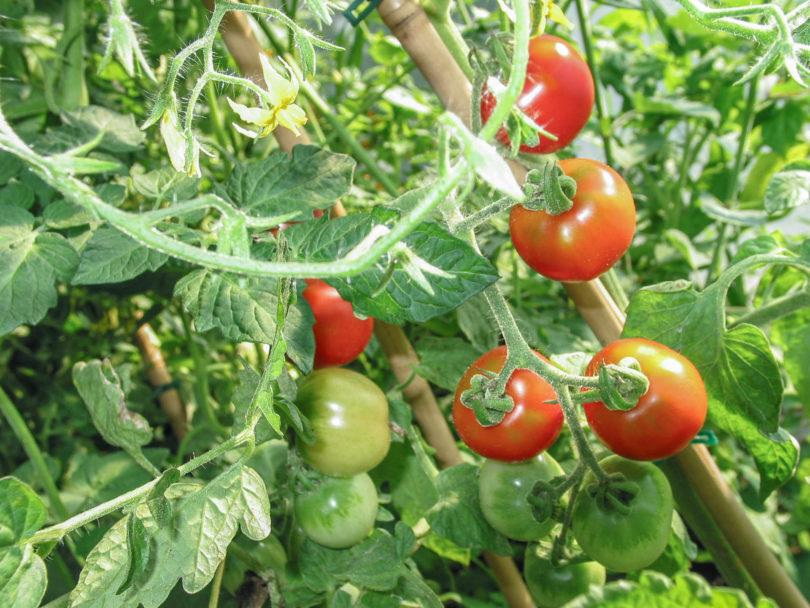 Die Früchte der Tomate De Colgar sind rot, rund und können mitsamt der Pflanze zum Lagern aufgehängt werden