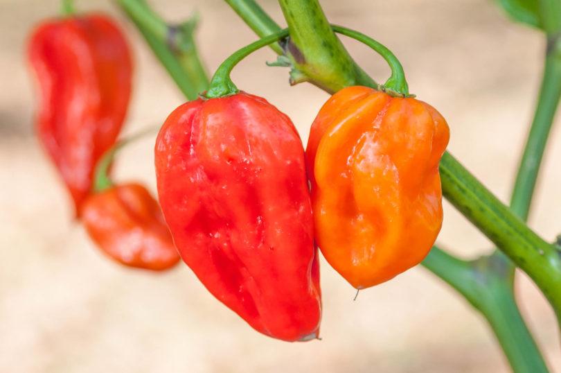 Devil's Tongue Red ist eine Chilisorte der Art Capsicum chinense