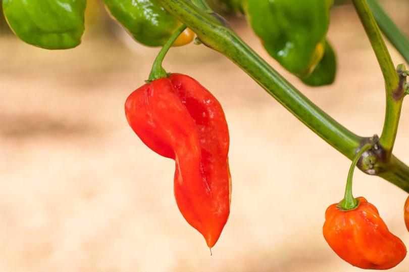 Die Chilisorte Devil's Tongue Red (Capsicum chinense)