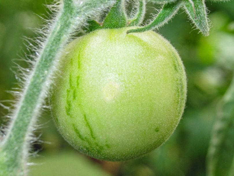 Die Tomatensorte Elberta Girl ist eine der wenigen behaarten Tomaten