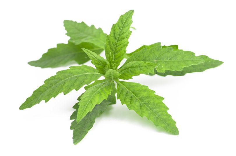 Die Blätter von Epazote werden in Mexiko häufig als Gewürz verwendet.