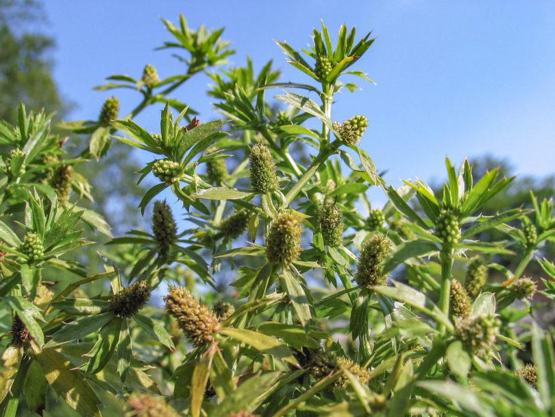 Langer Koriander - Eryngium foetidum