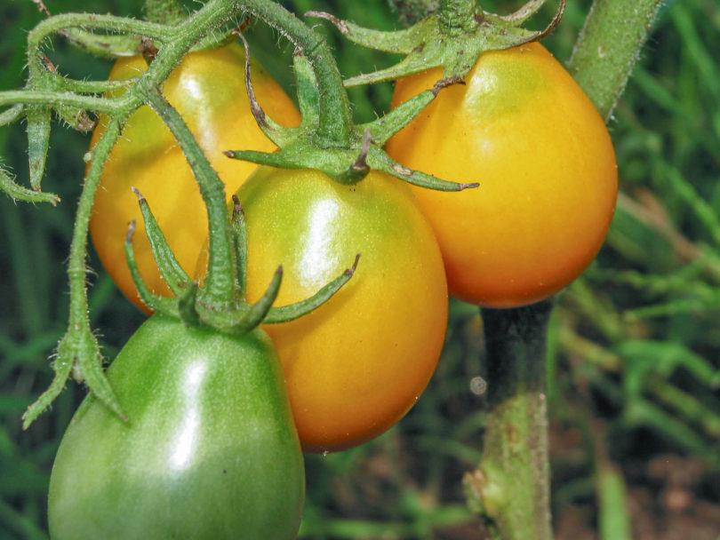 Die Buschtomate Fargo ist eine leckere kleine birnenförmige Tomatensorte