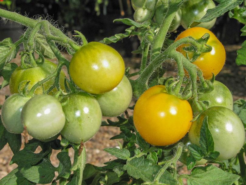 Die Buschtomate Floragold Basket ist sehr kleinwüchsig und kompakt in der Form, bei gleichzeitig hohem Ertrag