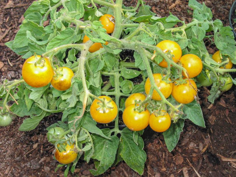 Die Früchte von Floragold Basket reifen goldgelb ab, sind knackig, schmackhaft und lange lagerfähig