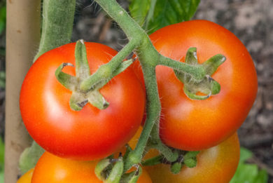 Genovese - Solanum lycopersicum - Tomatensorte