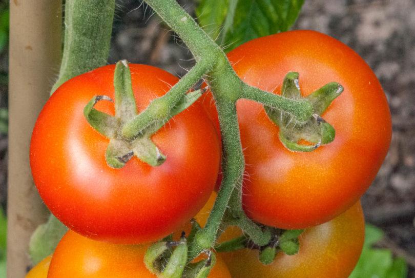 Die Tomatensorte Genovese ist eine rot abreifende, schmackhafte Tomate aus Italien