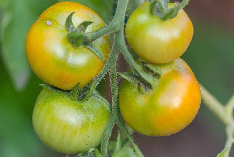Die Tomaten beginnen gerade zu reifen